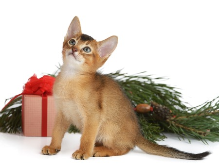 Abyssinian cute kitten with christmas tree and gift box isolated on white background photo