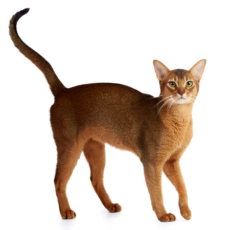 Purebred abyssinian cat isolated on white background