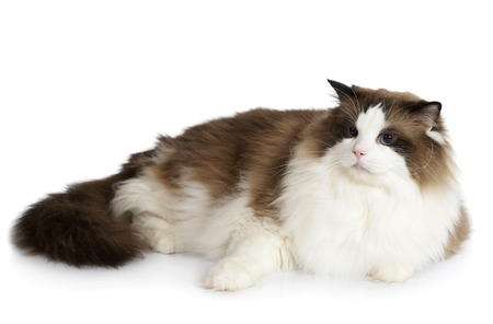 Ragdoll cat sitting in front of white background Stock Photo