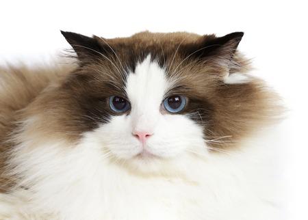 Ragdoll cat sitting in front of white background Zdjęcie Seryjne