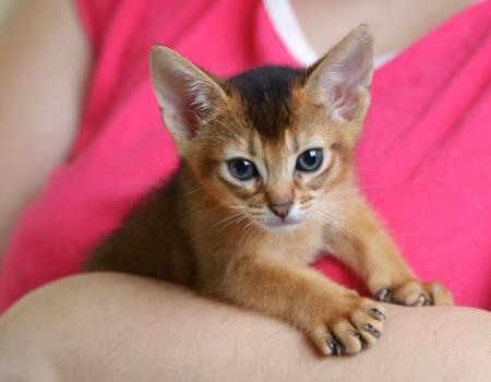 Portrait of a cute abyssinian kitten in female hands photo