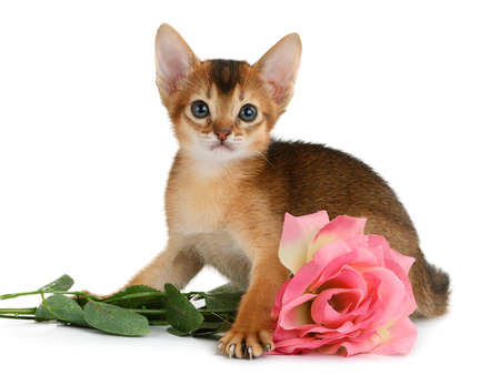 Valentine theme kitten with pink rose isolated on white background photo