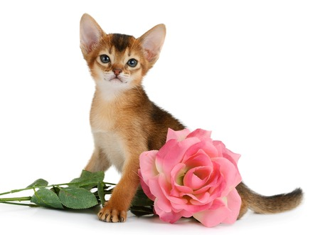Valentine theme kitten with pink rose isolated on white background Stock Photo