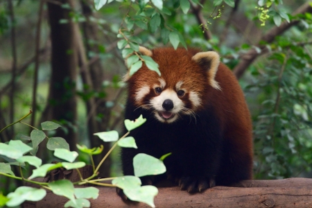 Portrait of a cute Red Panda Bear