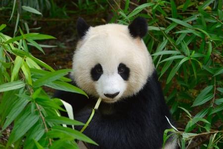 Gigante hambriento oso panda comiendo bambú en Chengdu, China