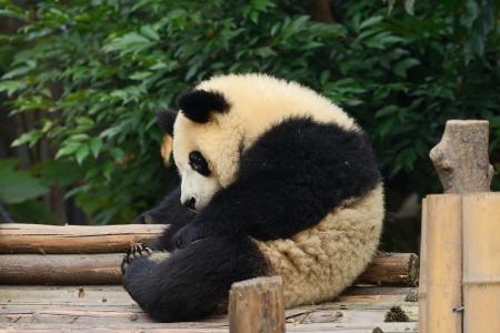 Giant panda bear resting at Chengdu, China Stock Photo