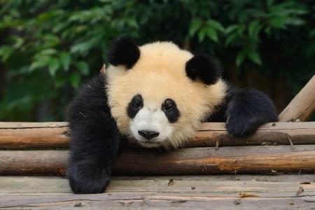 Giant panda bear resting at Chengdu, China