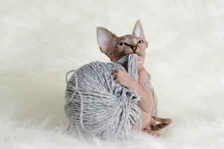 Hairless little kitten plays with a yarn ball