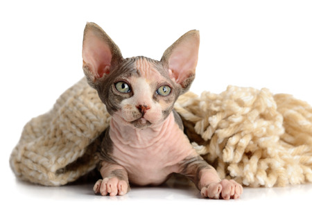 The Canadian hairless sphynx isolated on white background