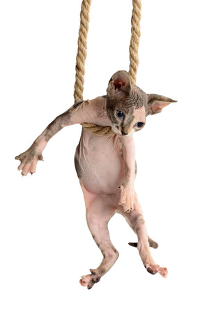 cute canadian sphynx kitten hanging on rope. isolated on a white background