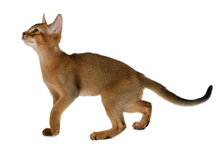 1 2 month: Purebred abyssinian kitten isolated on white background Stock Photo