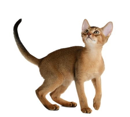 Purebred abyssinian kitten isolated on white background Stock Photo