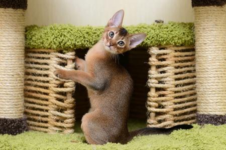 Portrait of a cute abyssinian kitten in the house