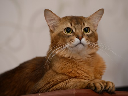 somali: Portrait of a cute somali cat in the house