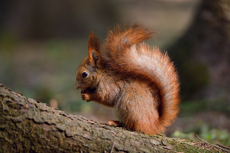 Cute little red squirrel in the park