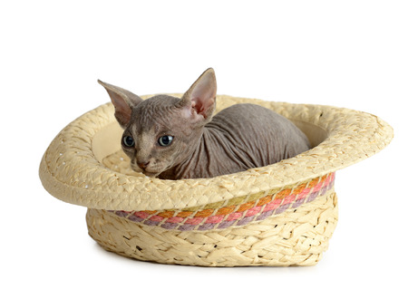 The Canadian hairless sphynx isolated on white background photo