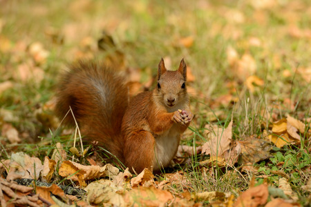Portrait of a red squirrel sitting on a grass