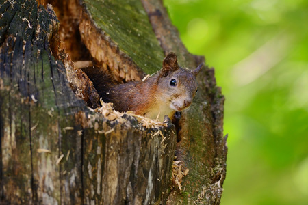 Portrait of a red squirrel sitting on a tree