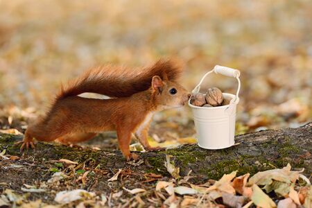Portrait of a red squirrel looking into a bucket with nuts