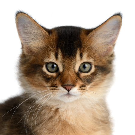 Portrait of a cute somali kitten isolated on white background