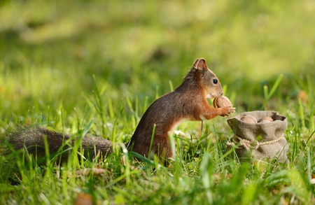 Portrait of a red squirrel sitting near a bag with nuts Stock Photo
