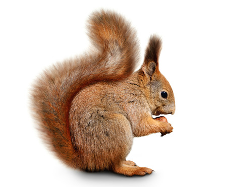 squirrel isolated: Portrait of eurasian red squirrel in front of a white background