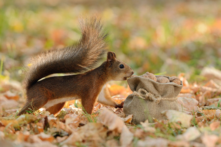 Portrait of a red squirrel looking into a bag with nuts