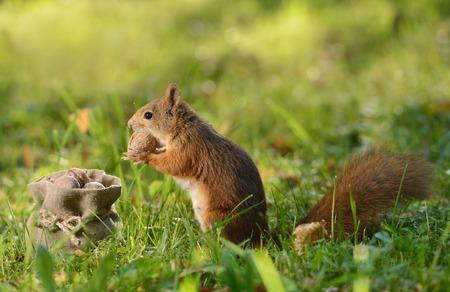 Portrait of a red squirrel sitting near a bag with nuts Zdjęcie Seryjne
