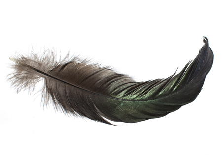 black-green cock feather