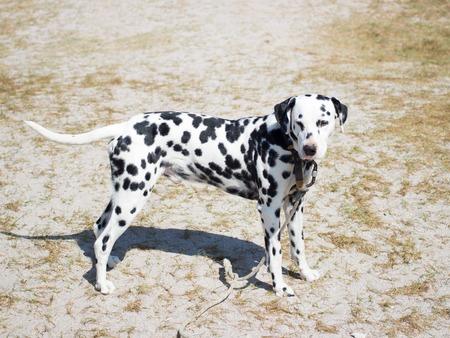 hound dog: Hound dog during the day in Crimea