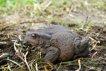 croak: Toad sitting on the ground during the day Stock Photo