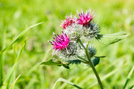 asteraceae: Arctium flowers in the field in the summer