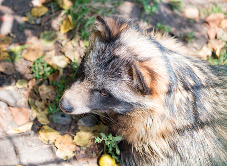 frisky: Animal raccoon closeup in the autumn in the daytime
