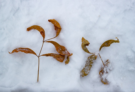 Autumn leaves on the snow. Cold. Daytime