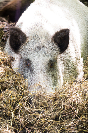 dreaminess: Boar sad, buried his nose in hay in the daytime Stock Photo