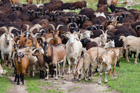 A large herd of goats and sheep on the green grass in the daytime Stock Photo