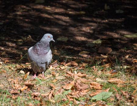 Pigeon dove on the road autumn sunny day