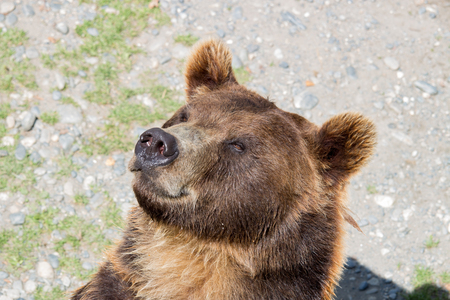 muzzle: Muzzle of a brown bear closeup in the daytime Stock Photo