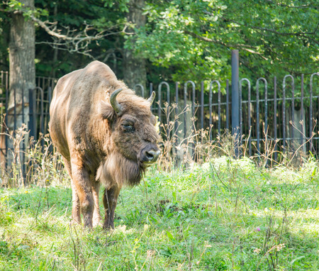 meadowland: Brown bison walking on the grass in the daytime