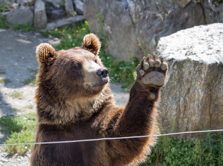 The brown bear waves a paw in the daytime Stock Photo