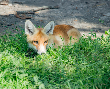 canny: Orange fox sitting in the green grass in the daytime