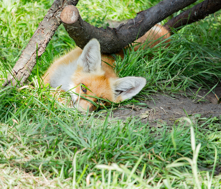 canny: Orange fox lies in the green grass in the daytime