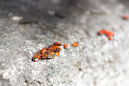 Clumps of firebug on a stone in the summer