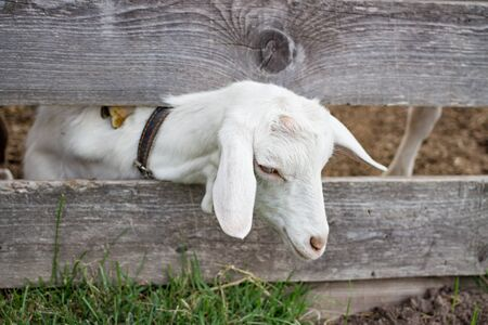 Friendly goat sticks head through wooden fence summer