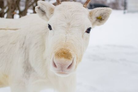 White deer closeup in the winter time