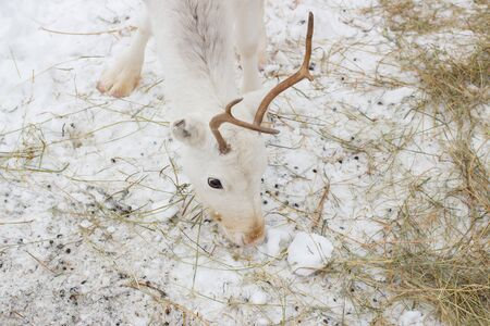 White deer closeup eats hay in the winter time day
