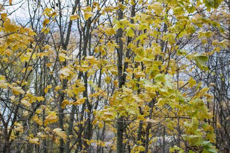 Yellow leaves on a white sky background day