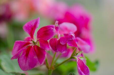 geranium color: Pink flower geranium  pelargonium in home garden