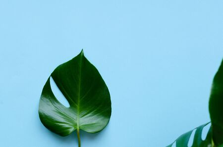 Tropical leaves Monstera on blue