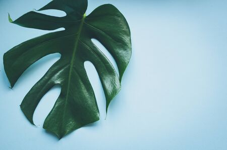 Tropical leaves Monstera on blue b